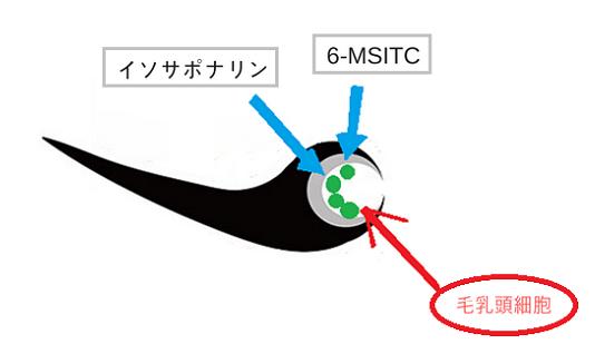 わさび成分イソサナポリン-6-MSITC